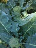 Broccoli x 2